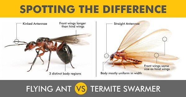 Termites Vs Ants Spotting The Difference Between Them