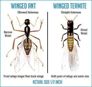 Termites vs Ants: Are They Termites or Ants?