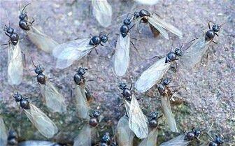 Termites vs Ants: Ant Swarmers